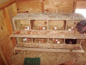 legnest-broedgebied-kippenren