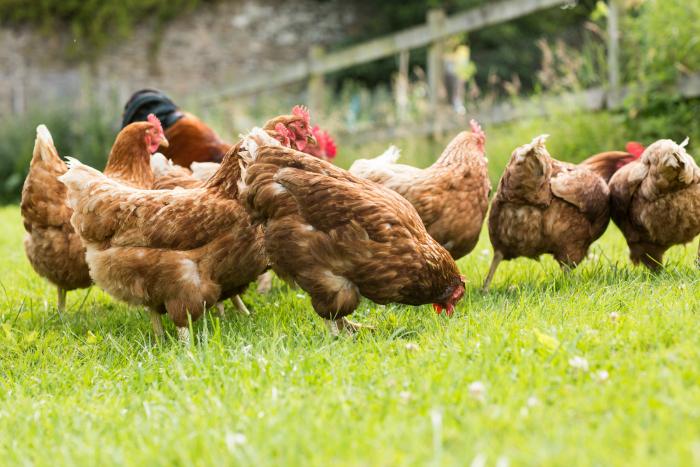 vrije kippen in het gras