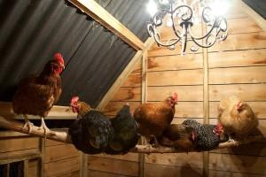 kippen-op-stok-in-het-nachthok